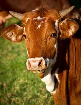 cow-425164__340